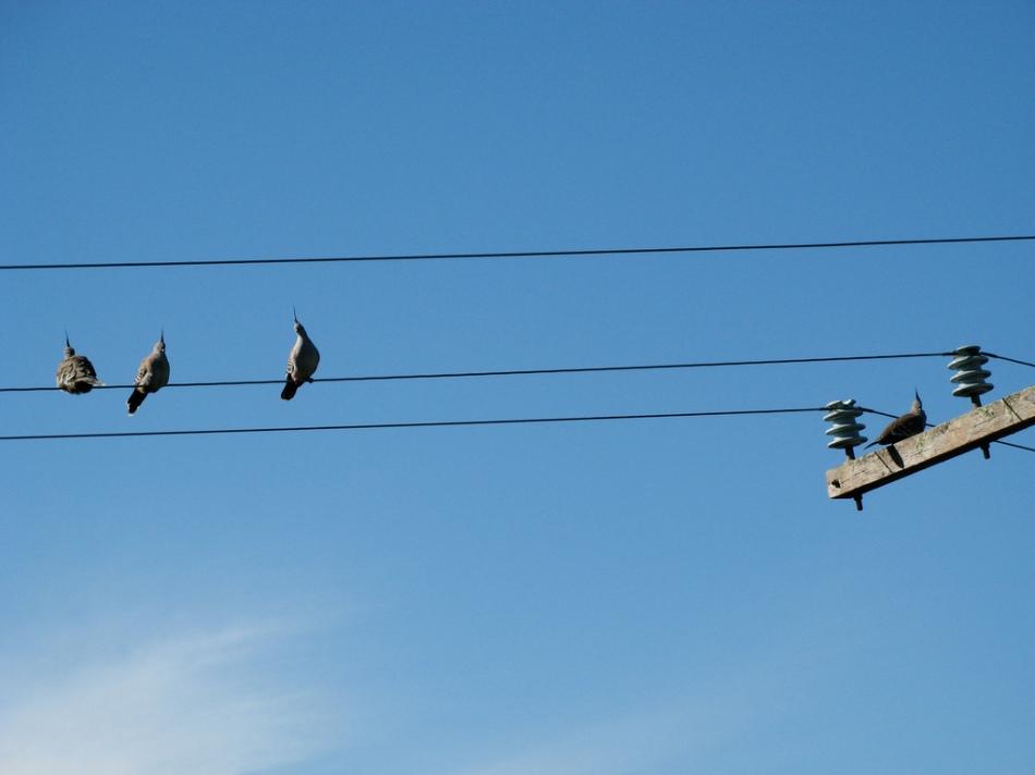 crested pigeon on wire_cskk_flickr