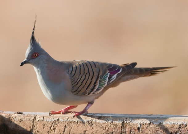 crested pigeon_jim bendon