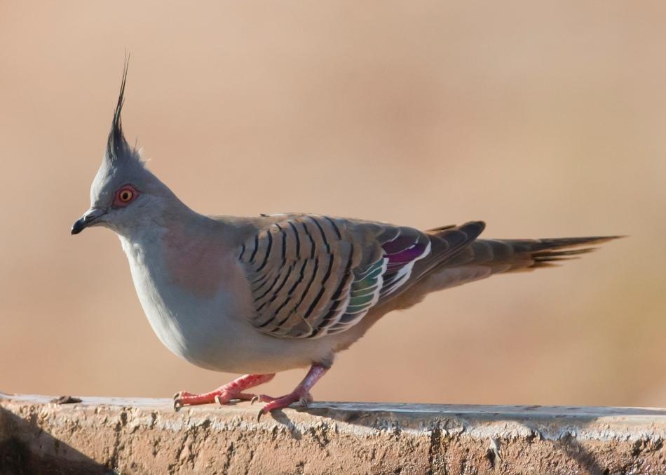 crested pigeon_jim bendon