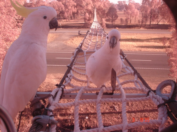 ksoanes_cockatoos on rope bridge