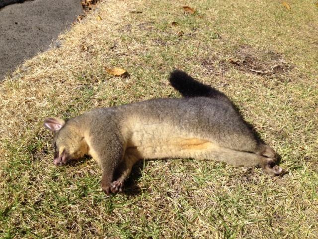 Unlucky possum
