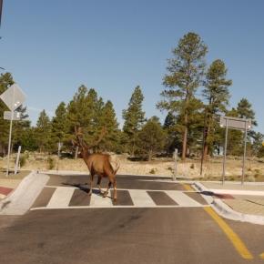 Teaching wildlife road-crossingtricks