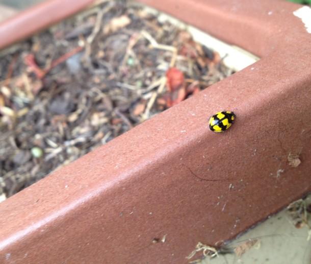 ksoanes_ladybird
