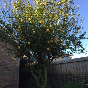 My ugly lemon tree