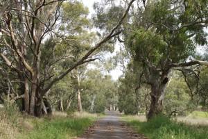 ksoanes_roadside trees