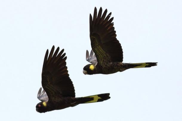 yellow tailed cockatoos_FrankzedFlickr
