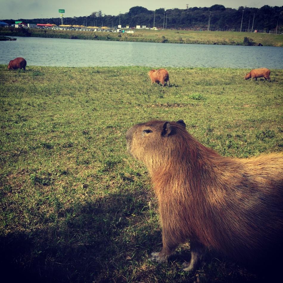 Majestic capybara_2016-07-14 13.57.07